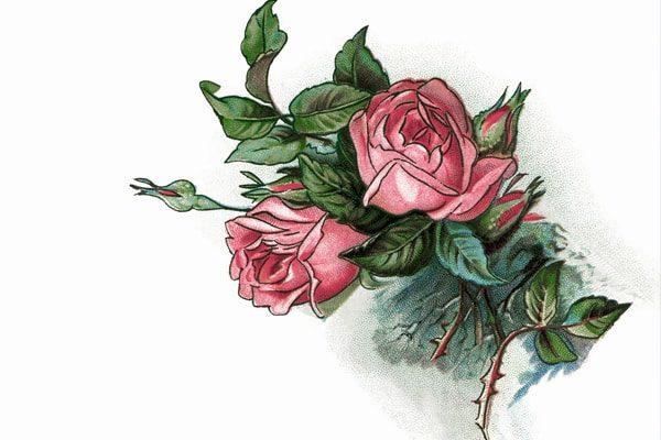 Картинка к сказке Прекраснейшая роза мира